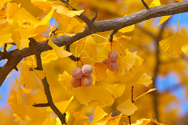 Close-up of gingko tree in autumn, Tokyo Prefecture, Honshu, Japan