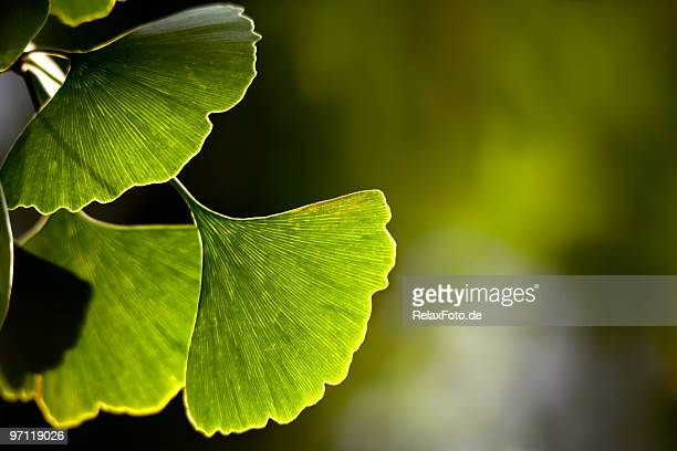 Close-up of Ginkgo biloba leaves back lit