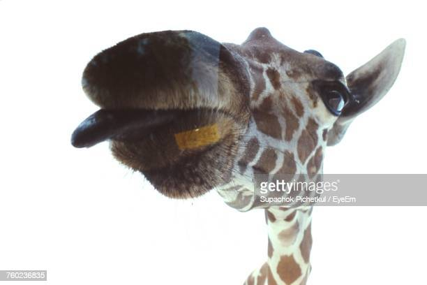 Close-Up Of Giraffe Against Clear Sky