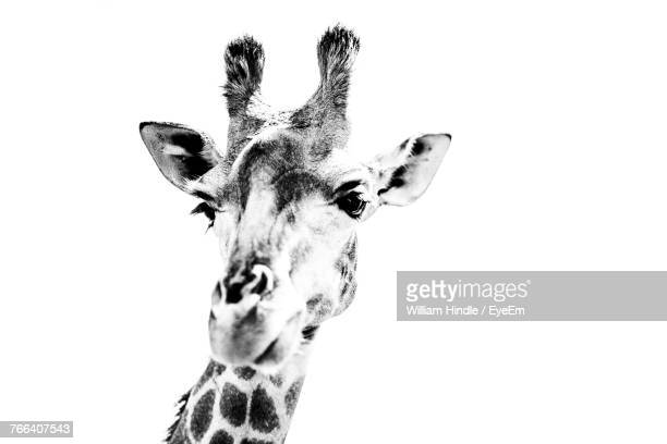 close-up of giraffe against white background - white giraffe stock pictures, royalty-free photos & images