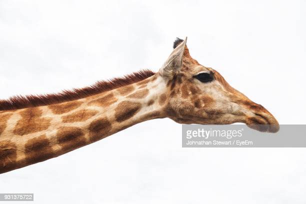 close-up of giraffe against white background - white giraffe stockfoto's en -beelden