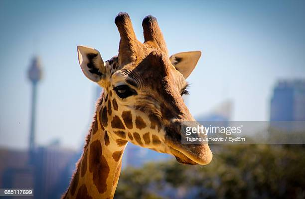 Close-Up Of Giraffe At Taronga Zoo