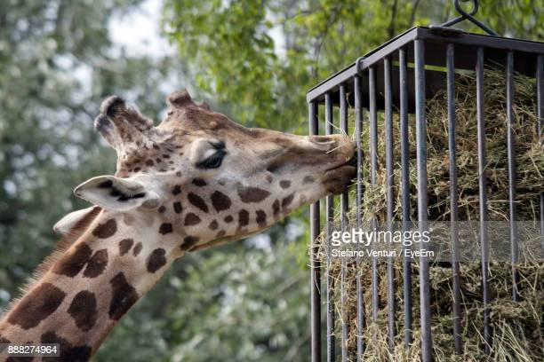 Close-Up Of Giraffe Feeding On Grass In Cage
