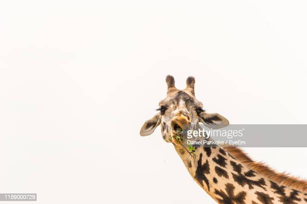 close-up of giraffe grazing against white background - white giraffe stock pictures, royalty-free photos & images