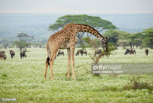 close-up of giraffe grazing on field against sky - marek stefunko stock pictures, royalty-free photos & images