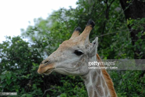 close-up of giraffe - gerhard schimpf stock pictures, royalty-free photos & images