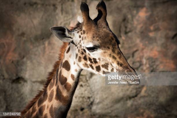 close-up of giraffe - jennifer reed stock pictures, royalty-free photos & images