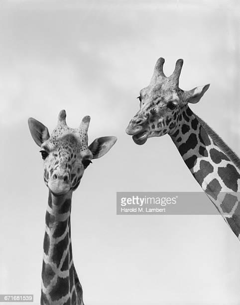 close-up of giraffe - vertebrato foto e immagini stock