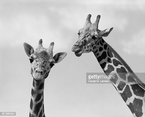 close-up of giraffe - number of people stock pictures, royalty-free photos & images