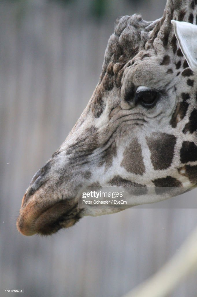 Close-Up Of Giraffe : Stock Photo