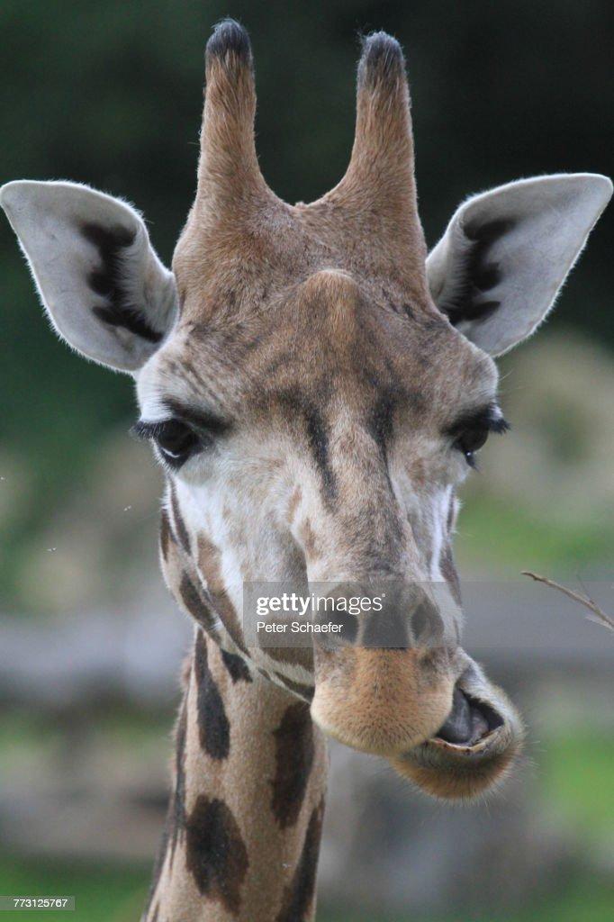 Close-Up Of Giraffe : Photo