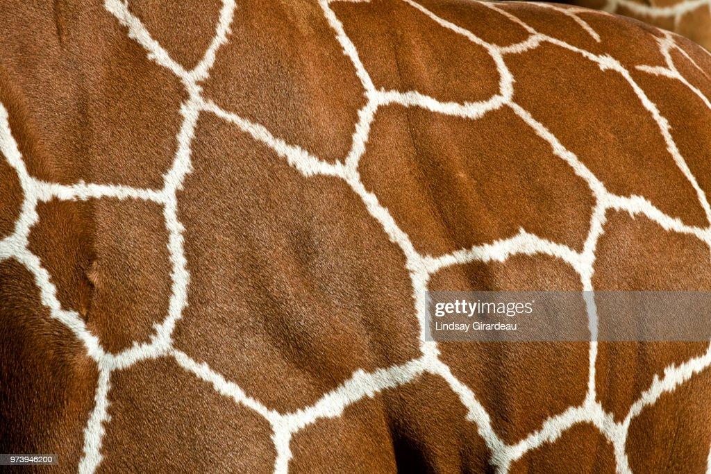 Close-up of giraffe print, Florida, USA : Stock Photo