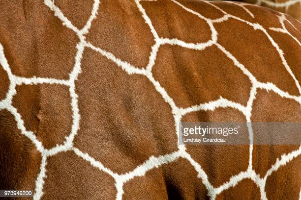 close-up of giraffe print, florida, usa - animal pattern stock pictures, royalty-free photos & images