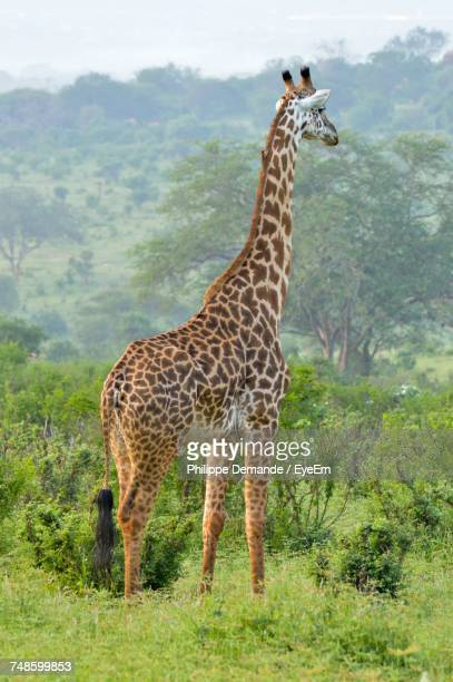 Close-Up Of Giraffe Standing On Grassy Field Against Mountain