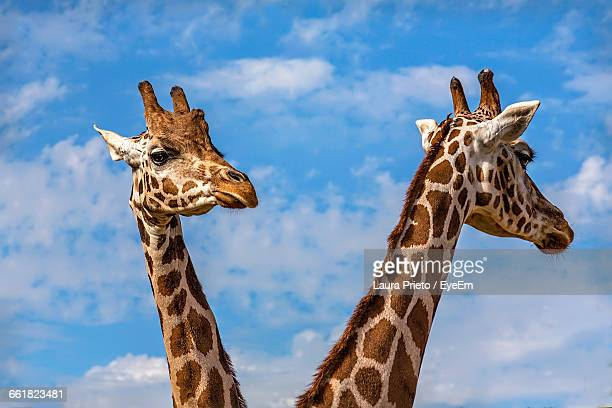 Close-Up Of Giraffes Against The Sky
