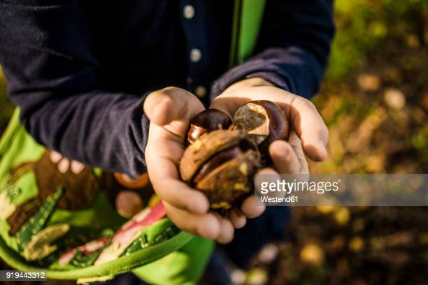 close-up of girl collecting chestnuts in autumn forest - castanhas imagens e fotografias de stock