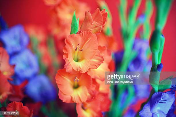 Gladiolus Stock Photos And Pictures