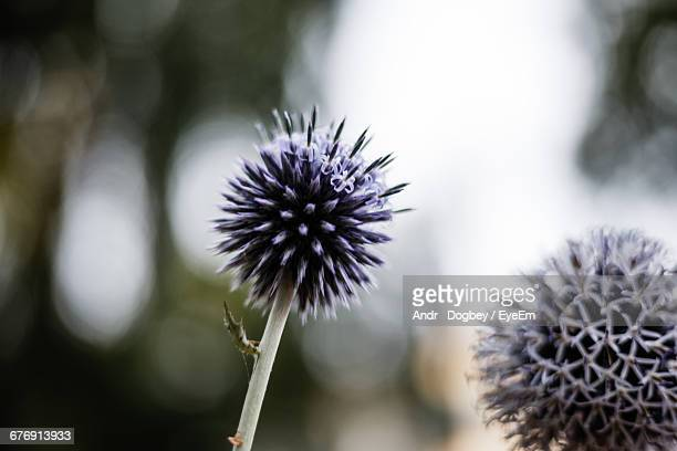 Close-Up Of Globe Thistle