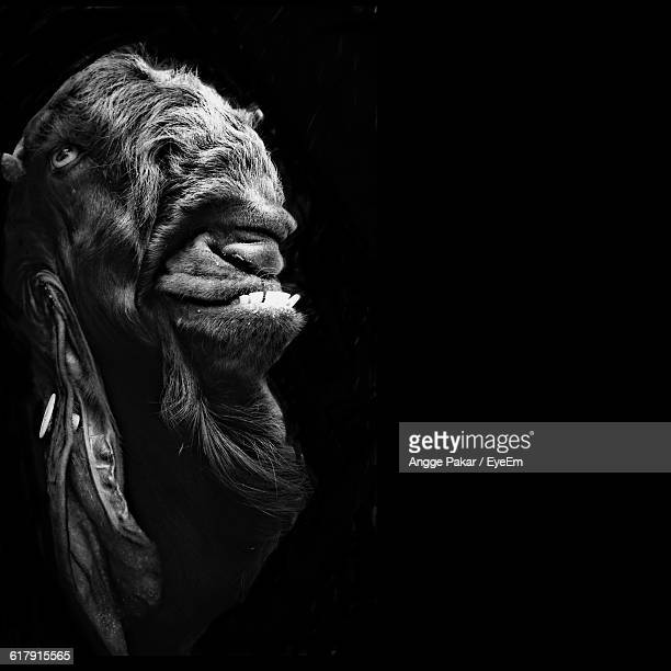 Close-Up Of Goat Against Black Background