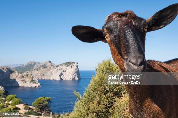 Close-Up Of Goat Against Sky