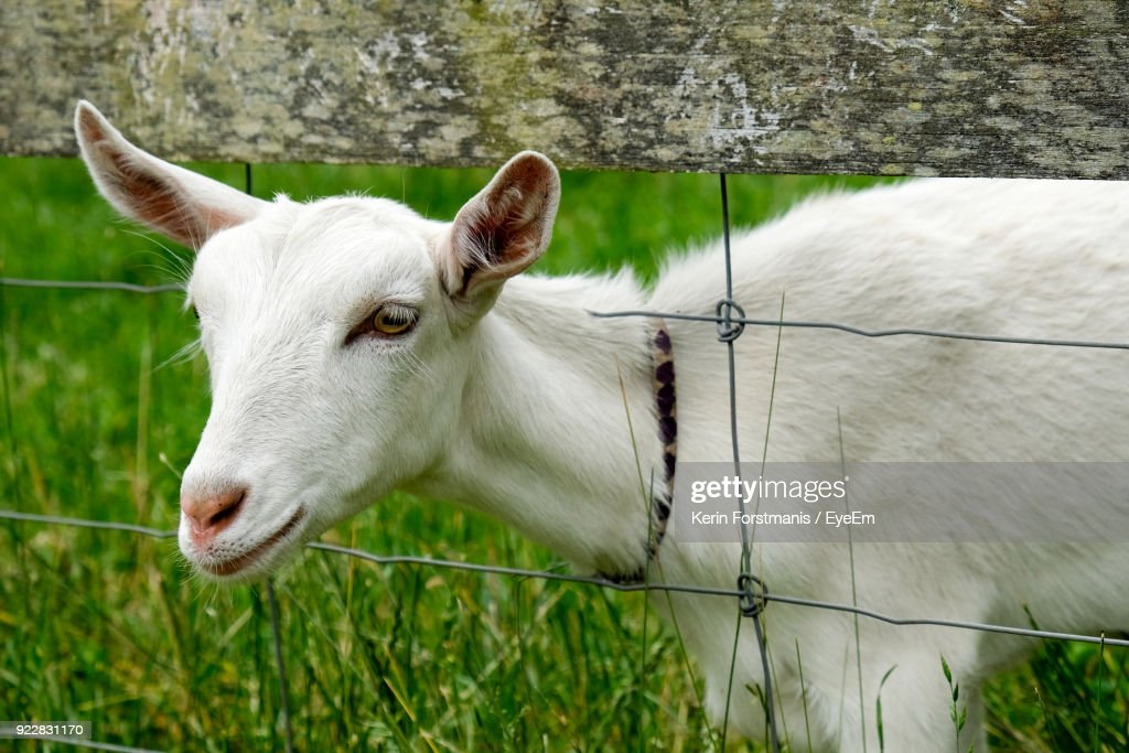 Closeup Of Goat By Fence On Grass Stock Photo - Getty Images