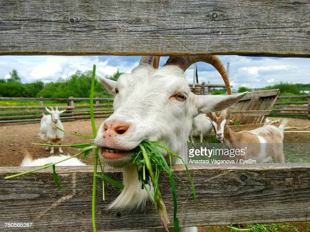 close-up of goat eating - goats stock pictures, royalty-free photos & images