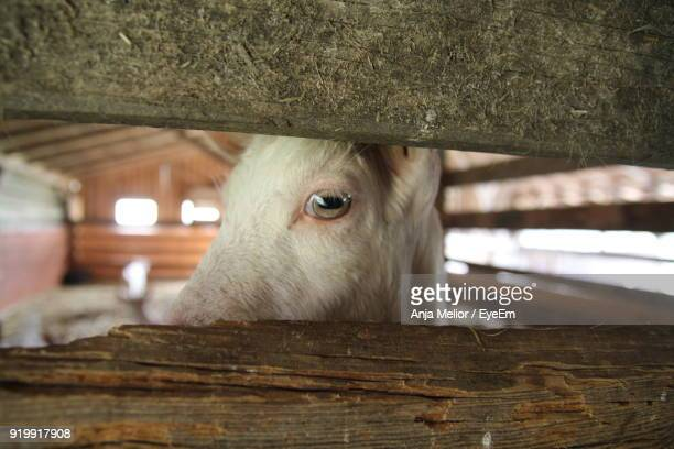 Close-Up Of Goat In Barn