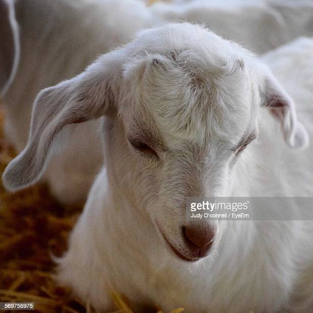 Close-Up Of Goat Lying Down On Hay