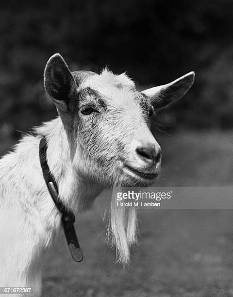 close-up of goat - number of people stock pictures, royalty-free photos & images