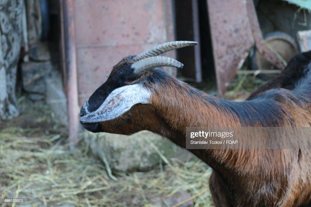 Close-up of goat : Stock Photo