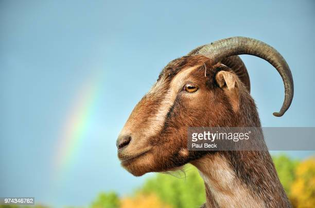 close-up of goat - goats stock pictures, royalty-free photos & images