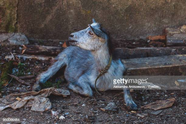 Close-Up Of Goat Sitting Against Wall