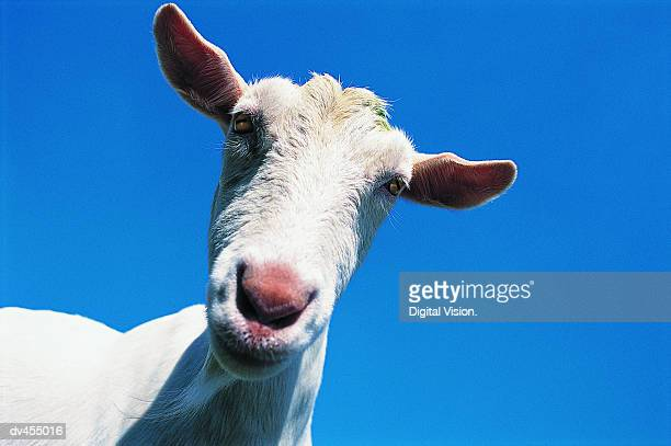 close-up of goat's head - goats stock pictures, royalty-free photos & images