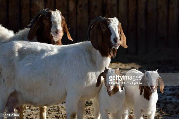 Close-Up Of Goats On Field