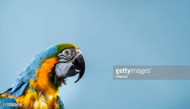 close-up of gold and blue macaw in studio - domestic animals stock pictures, royalty-free photos & images