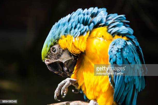 Close-Up Of Gold And Blue Macaw Perching On Branch