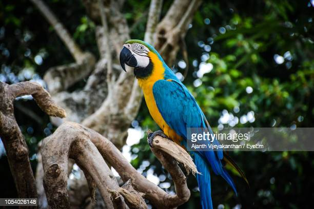 close-up of gold and blue macaw perching on tree - gold and blue macaw stock pictures, royalty-free photos & images