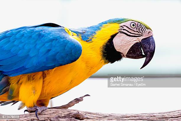 Close-Up Of Gold And Blue Macaw Perching On Wood