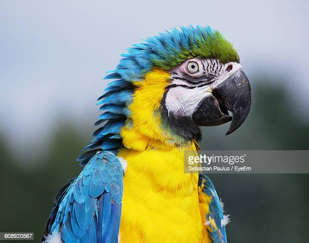 Close-Up Of Gold And Blue Macaw