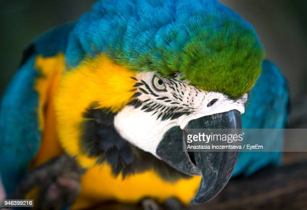 Close-Up Of Gold And Blue Macaw With Open Mouth