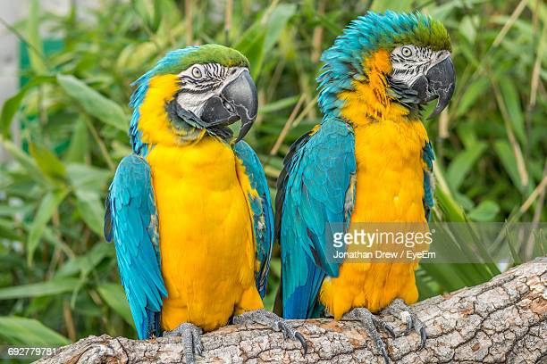 close-up of gold and blue macaws perching on branch - gold and blue macaw stock pictures, royalty-free photos & images