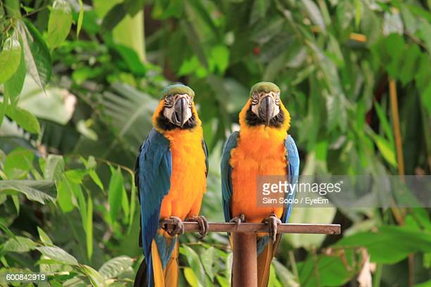 Close-Up Of Gold And Blue Macaws Perching On Metal Against Plants