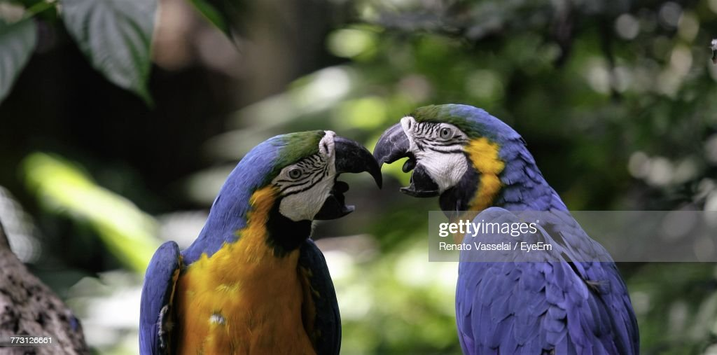 Close-Up Of Gold And Blue Macaws Perching On Tree : Stock-Foto