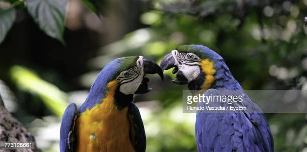 Close-Up Of Gold And Blue Macaws Perching On Tree