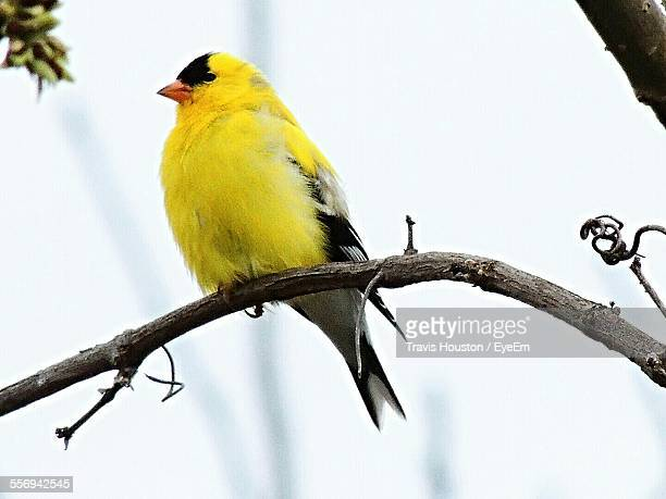 Close-Up Of Gold Finch Perching On Branch Against Sky
