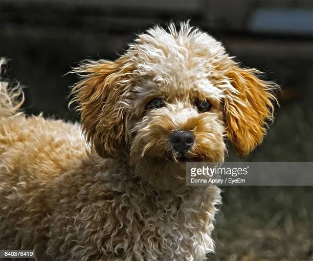 close-up of golden doodle - goldendoodle stock-fotos und bilder