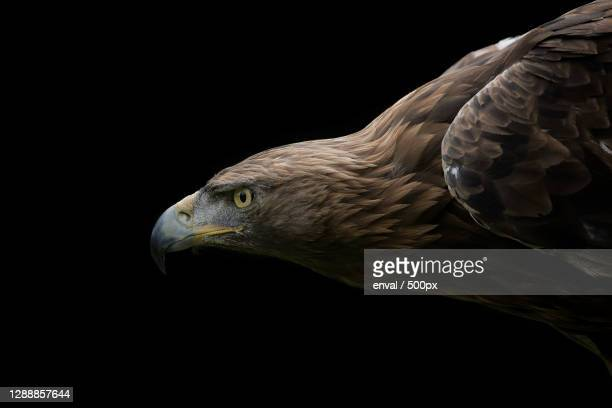 close-up of golden eagle against black background - aguila real fotografías e imágenes de stock
