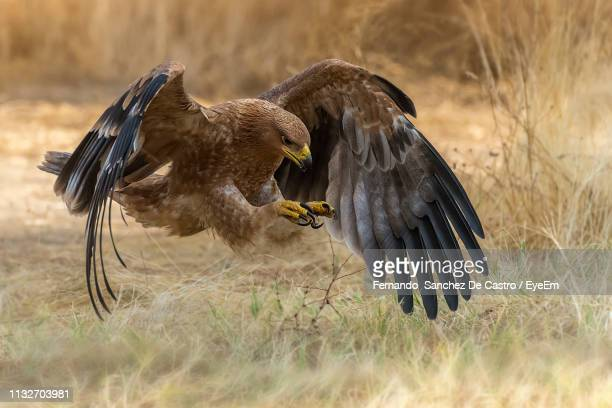 close-up of golden eagle flying over field - aguila real fotografías e imágenes de stock