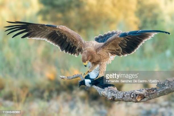 close-up of golden eagle perching on branch - aquila reale foto e immagini stock