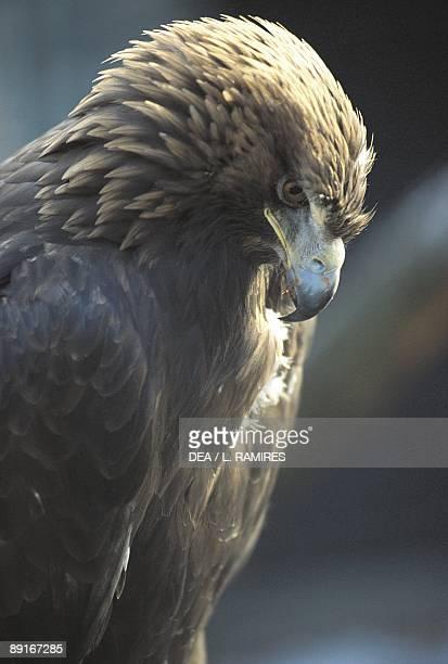 Closeup of Golden Eagle